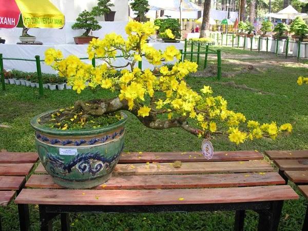Các thế cây mai vàng đẹp