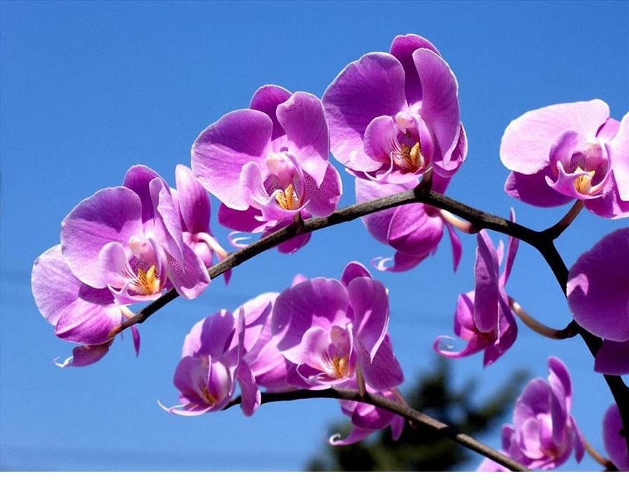 Hoa lan tím được biết đến như là biểu tượng của tình yêu, sự chung thuỷ