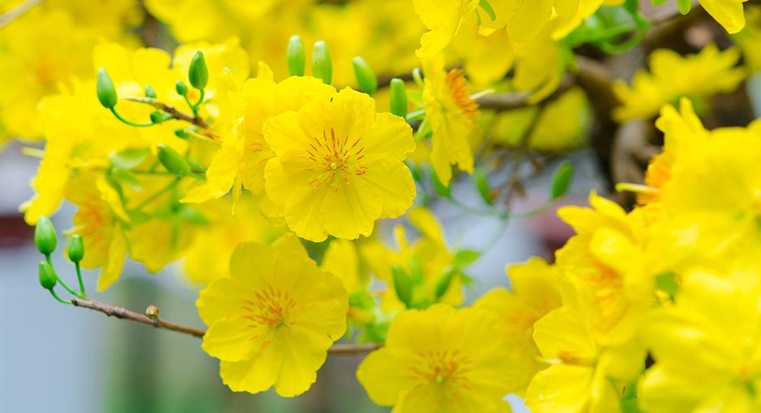 Hoa mai với những ý nghĩa tốt đẹp đã và đang rất được ưa chuộng để trang trí tại các không gian khác nhau