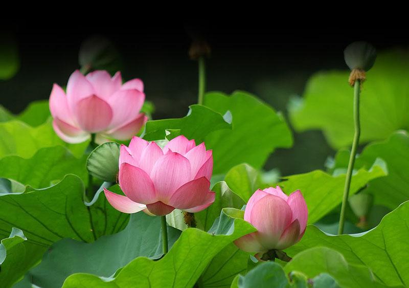 Hoa sen khá đa dạng về màu sắc, nhưng đặc trưng nhất vẫn là sen hồng