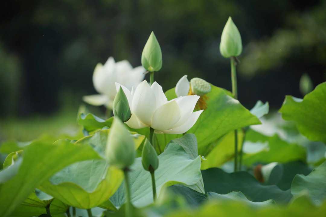 Hoa sen mang vẻ đẹp thanh cao, tinh khiết
