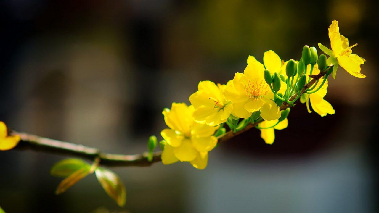 Hoa mai tượng trưng cho cốt cách cao đẹp của con người