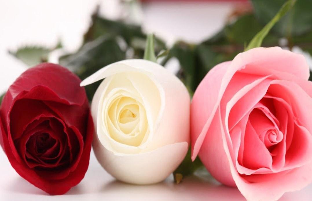Hoa hồng là loài hoa khá đa dạng về chủng loại, màu sắc
