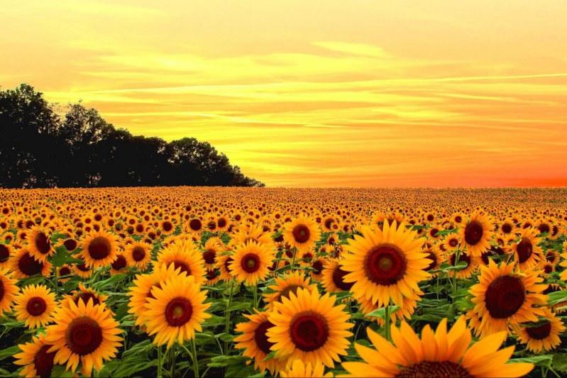 Hướng dương là loài hoa được nhiều người ưa chuộng. Vậy, Hoa hướng dương có ý nghĩa gì?