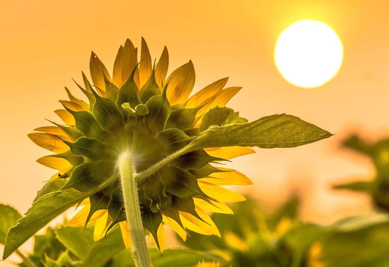 Hoa hướng dương luôn hướng về mặt trời, tựa như con người luôn hướng về những điều tích cực