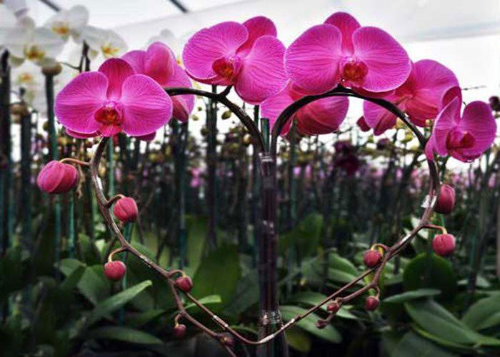 Những ý tưởng trang trí hoa lan hồ điệp màu tím đẹp