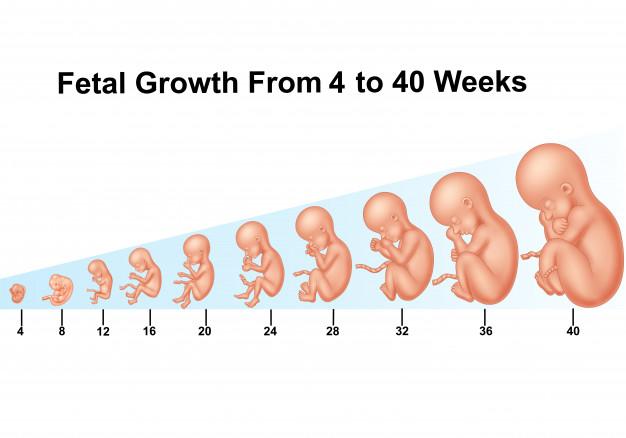Bảng cân nặng thai nhi theo từng tuần tuổi để các mẹ bầu dễ dàng theo dõi sự phát triển của con ngay khi còn trong bụng mẹ